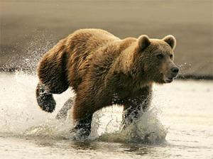 brown_bear_ru